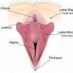 Рис. 7. Промежность - это участок мягких тканей между анусом и влагалищем.