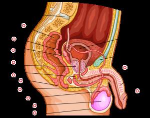 Рис. 2. У мужчин имеется тесная связь гениталий с прямой кишкой.